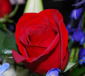 red-rose-close-up