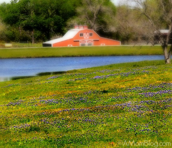 bluebonnet fields and farm